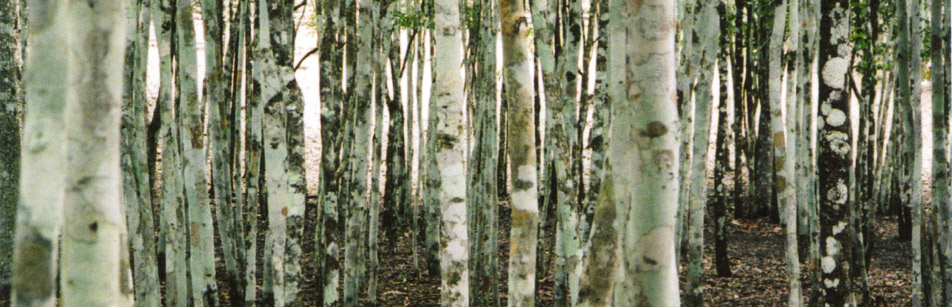 banner-birch-trees